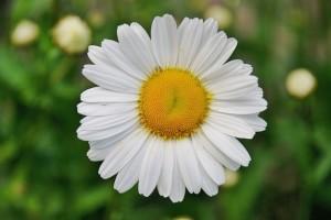 margarita-margaritas-flores-de-primavera_121-50157